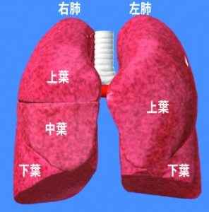 肺のイメージ